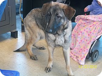 German Shepherd Dog Dog for adoption in Greeneville, Tennessee - Star