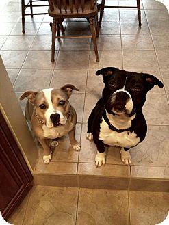 American Bulldog/Staffordshire Bull Terrier Mix Dog for adoption in San Diego, California - Tony URGENT