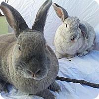 Adopt A Pet :: Nutmeg - El Cerrito, CA