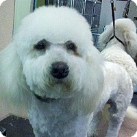 Adopt A Pet :: 2 boy Bichons! - Seattle, WA