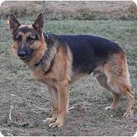 Adopt A Pet :: Sabor - Hamilton, MT