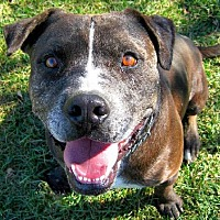 Catahoula Leopard Dog/American Staffordshire Terrier Mix Dog for adoption in Ventura, California - Bob