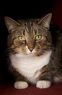 Domestic Shorthair Cat for adoption in Chicago, Illinois - Jordana