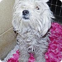 Adopt A Pet :: Poodle fem X - San Jacinto, CA