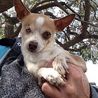 Chihuahua Dog for adoption in Temecula, California - Ronnie