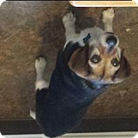 Adopt A Pet :: Rosie The Beagle - Willingboro, NJ