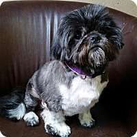 Adopt A Pet :: Squirt Montgomery - Urbana, OH