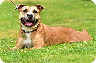 Staffordshire Bull Terrier/Boxer Mix Dog for adoption in Santa Monica, California - Matilda