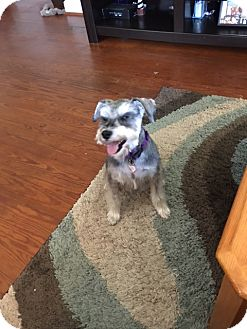 Miniature Schnauzer Dog for adoption in Laurel, Maryland - Daisy