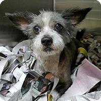 Adopt A Pet :: Krypton - Miami, FL