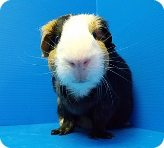 Guinea Pig for adoption in Lewisville, Texas - Ratchet and Ruth