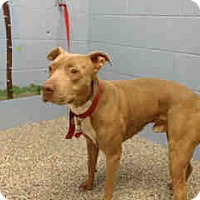 Pit Bull Terrier Mix Dog for adoption in San Bernardino, California - URGENT ON 9/8  San Bernardino