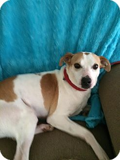 Jack Russell Terrier/Labrador Retriever Mix Dog for adoption in Sherman, Connecticut - Jaxson