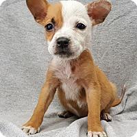 Adopt A Pet :: Little Dipper - Champaign, IL