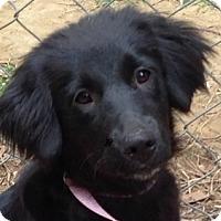 Adopt A Pet :: Annabelle - Harrisonburg, VA