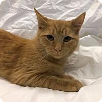 Domestic Shorthair Cat for adoption in Maryville, Missouri - Garfield