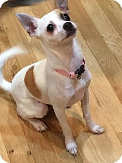 Chihuahua/Rat Terrier Mix Dog for adoption in Glastonbury, Connecticut - CLEO -LOCAL