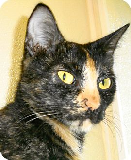 Domestic Shorthair Cat for adoption in Georgetown, Texas - Moxie