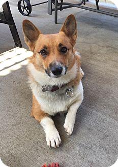Corgi Mix Dog for adoption in Sherman Oaks, California - Pepper