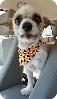 Cairn Terrier Mix Dog for adoption in Tempe, Arizona - Roger