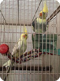 Cockatiel for adoption in Punta Gorda, Florida - 4 Cockatiel Flock