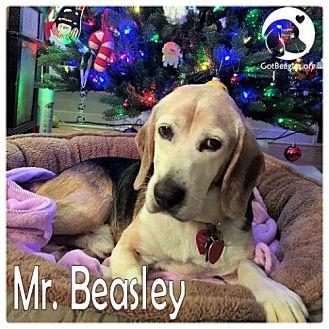 Beagle Dog for adoption in Pittsburgh, Pennsylvania - Mr Beasley