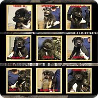 Adopt A Pet :: Casseys pups - Billerica, MA
