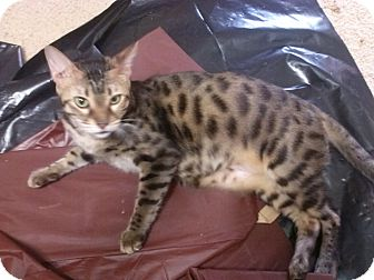 Bengal Cat for adoption in Lantana, Florida - Mac