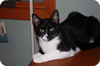 Domestic Shorthair Cat for adoption in Little Falls, New Jersey - Chip (LE)