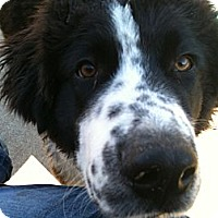 Adopt A Pet :: Joey - Broomfield, CO