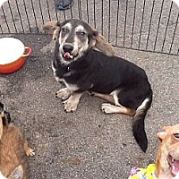 Adopt A Pet :: SHORTY - CHICAGO, IL