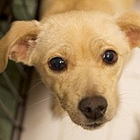Adopt A Pet :: ELLE - Studio City, CA