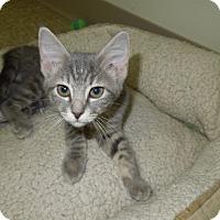 Adopt A Pet :: Laila - Medina, OH