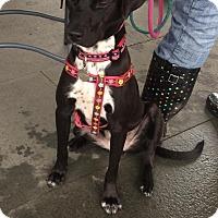 Adopt A Pet :: Leah - Lebanon, CT