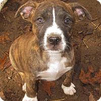 Adopt A Pet :: Kona Adoption pending - Manchester, CT
