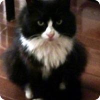 Adopt A Pet :: FLUFFINA - A Principessa'14 - New York, NY