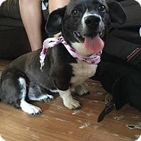 Adopt A Pet :: Beatrice - Manhattan Beach, CA