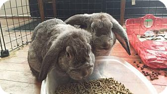 Mini Lop Mix for adoption in Middletown, Ohio - Marshall