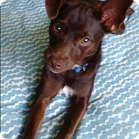 Adopt A Pet :: Chip - Ocean Ridge, FL