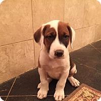 Adopt A Pet :: Caroline~adopted! - Glastonbury, CT