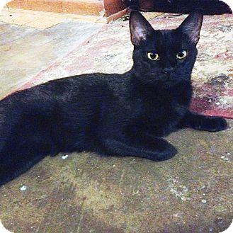 Domestic Shorthair Cat for adoption in Houston, Texas - Peaches