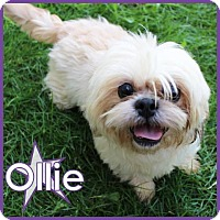 Adopt A Pet :: Ollie - Excelsior, MN