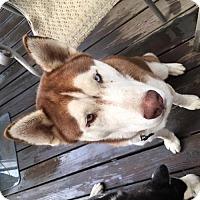 Adopt A Pet :: Bonded 9 month Old Male Huskies - Rowayton, CT