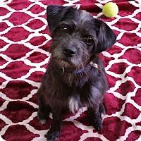 Terrier (Unknown Type, Medium) Dog for adoption in Shreveport, Louisiana - Teddy Bear