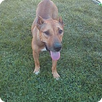 German Shepherd Dog Mix Dog for adoption in Dayton, Ohio - Edie