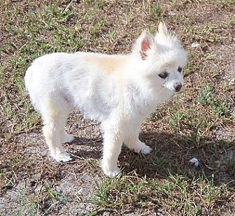 Pomeranian Mix Dog for adoption in Spring Hill, Florida - Care Sponsors needed: Scully