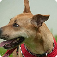 Carolina Dog/Labrador Retriever Mix Dog for adoption in Seattle, Washington - Foxi Roxi