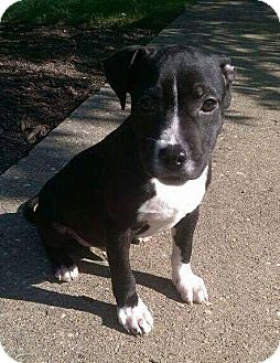 Pit Bull Terrier Mix Puppy for adoption in Dayton, Ohio - Finn