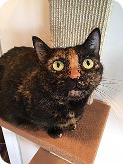 Domestic Shorthair Cat for adoption in North Las Vegas, Nevada - Moonlight