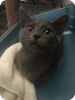 Russian Blue Kitten for adoption in Louisville, Kentucky - Stormy